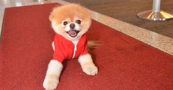 virgin america sign worlds cutest dog boo the pomeranian