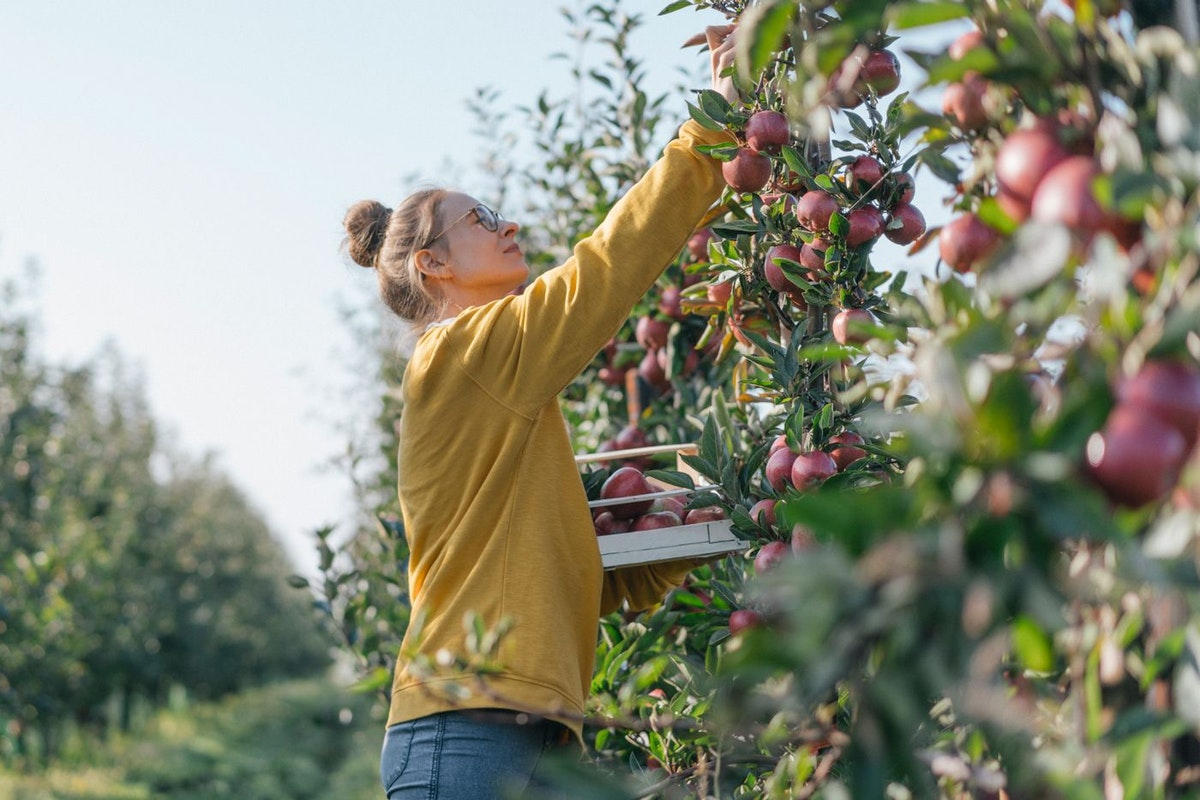 Woman picking apples at a UK orchard