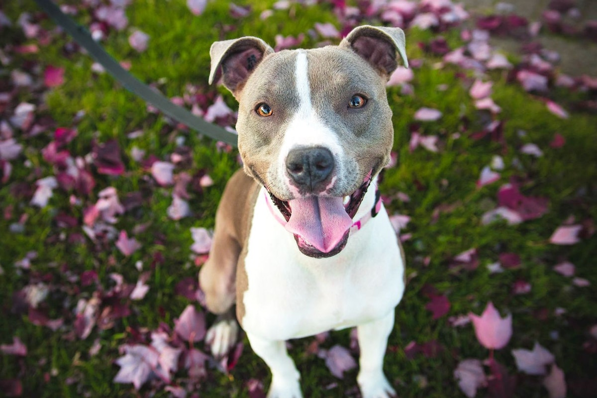 Staffordshire bull terriers are named as our favourite dog breed
